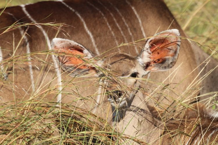 Impala in Sudafrica