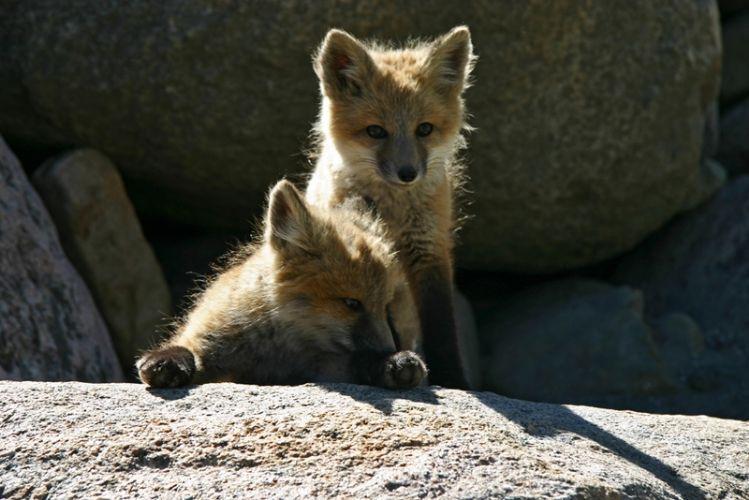 Cuccioli di volpe, Vail, Colorado