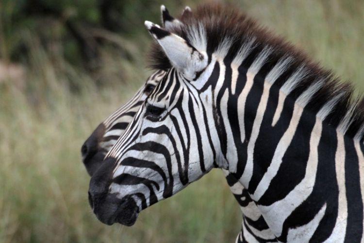 Zebre in Sudafrica