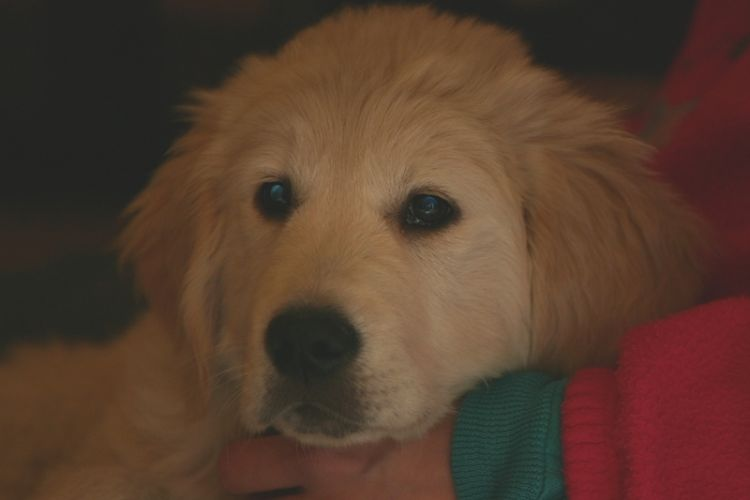Golden Retriever pet