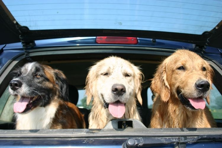 I Golden Retriever nel baule dell'auto